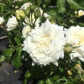 Rosa White Drift®