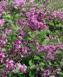 Syringa x Bloomerang® Dark Purple