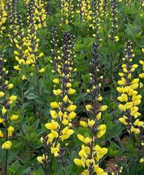 Baptisia x Decadence® 'Lemon Meringue'