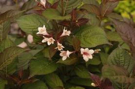 Weigela florida Bloomin' Easy Tuxedo™