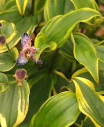 Tricyrtis formosana Gilt Edge