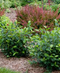 Aronia melanocarpa Low Scape&reg 'Hedger'