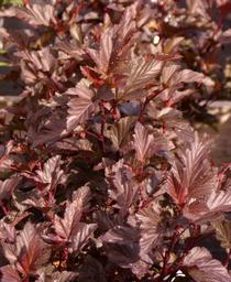 Physocarpus opulifolius Ginger Wine®