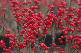 Ilex verticillata Winter Red®