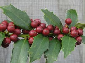 Ilex x Christmas Jewel®