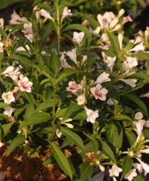 Weigela florida Sonic Bloom® 'Pearl'
