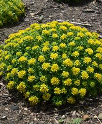 Sedum x Little Miss Sunshine