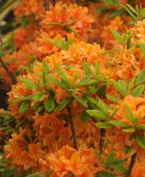 Rhododendron x calendulaceum Tangerine Delight