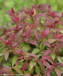 Spiraea japonica Double Play® 'Red'