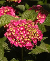 Hydrangea macrophylla Summer Crush®