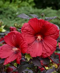 Hibiscus x Summerific® 'Holy Grail'