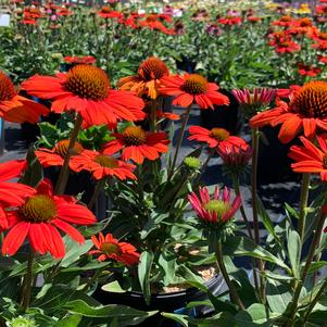 Echinacea purpurea Kismet® 'Intense Orange'