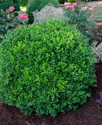 Buxus NewGen™ Independence®