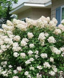 Hydrangea paniculata Fire Light™