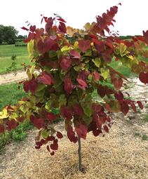 Cercis canadensis Flame Thrower®