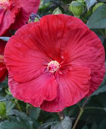 Hibiscus x Summerific® 'Cranberry Crush'
