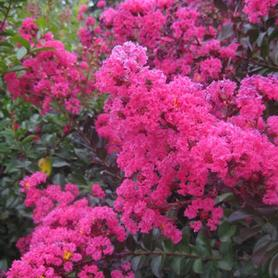 Lagerstroemia x Pink Velour™