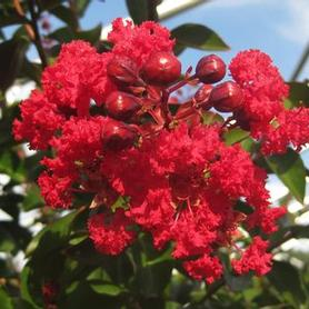 Lagerstroemia x Red Rocket®