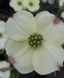 Cornus florida Cloud 9