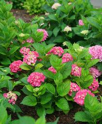 Hydrangea macrophylla Let's Dance® Big Band™
