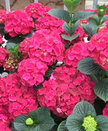 Hydrangea macrophylla Magical® 'Ruby Red'
