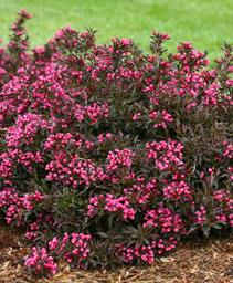 Weigela florida Spilled Wine®