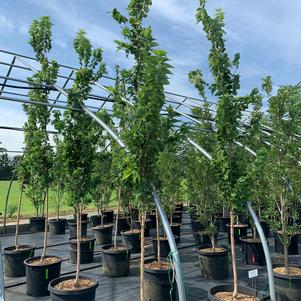Celtis occidentalis Prairie Sentinel™