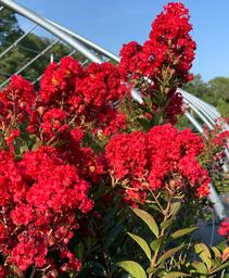 Lagerstroemia Enduring Summer™ 'Red'