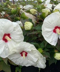 Hibiscus x Summerific® French Vanilla
