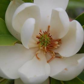Magnolia virginiana Green Shadow