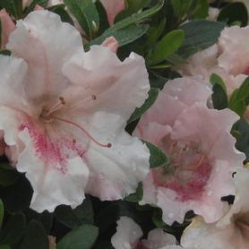 Rhododendron Gumpo Pink