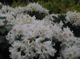 Rhododendron cat. Cunningham's White