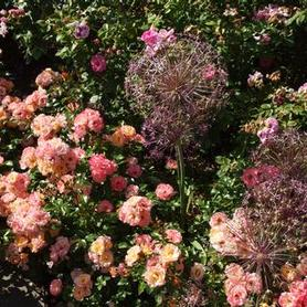 Rosa Peach Drift® ('Meiggili')