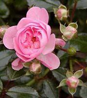 Groundcover Rose