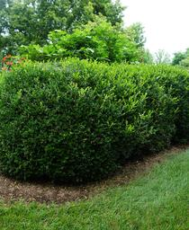 Buxus microphylla Jim Stauffer