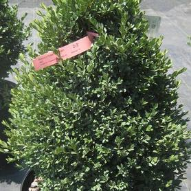 Buxus x Green Mountain