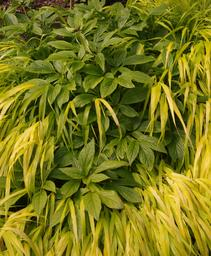 Gold Hakone Grass