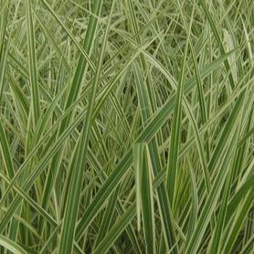 Japanese Silver Grass - Variegated