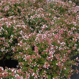 Abelia x grandiflora Rose Creek
