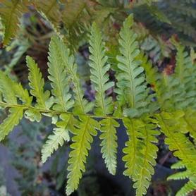 Robust Male Fern