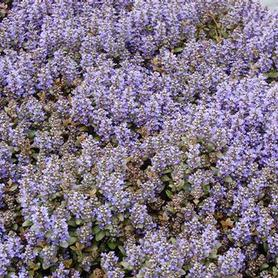 Ajuga reptans Chocolate Chip