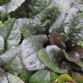 Ajuga reptans 'Purple Brocade'