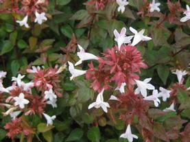 Abelia x zanderi 'Little Richard'
