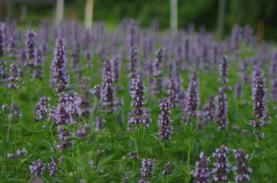 Agastache x 'Black Adder'