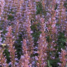 Agastache x Purple Haze