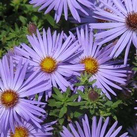 Aster oblongifolius October Skies