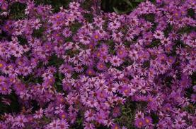 Aster 'Wood's Purple'