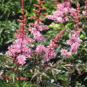 Astilbe simplicifolia 'Key West'