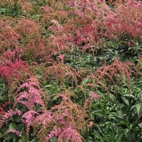 Astilbe x arendsii 'Ostrich Plume'