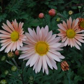 Chrysanthemum Hillside Sheffield Pink